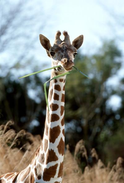 Disney's Animal Kingdom Theme Park – Giraffe